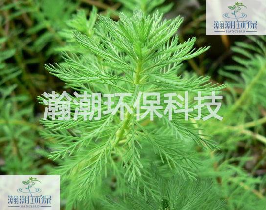 穗状狐尾藻.jpg